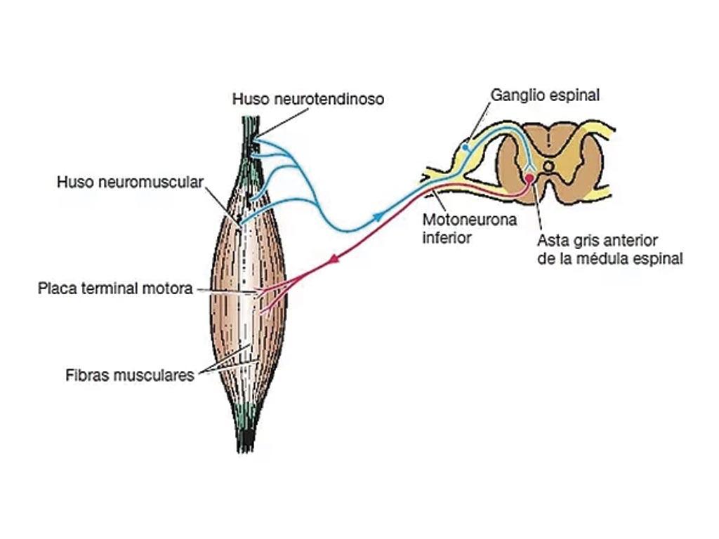 Husos neuromusculares